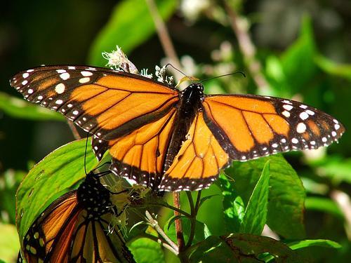 Mariposa Monarca, Santuario de Michoacan
