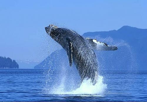 Ballena gris, la reina de los mares
